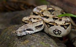 爬行在地板上的蟒蛇 免版税库存图片