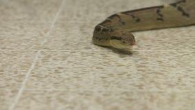 爬行在地板,哥斯达黎加动物园上的Bushmaster蛇 股票录像