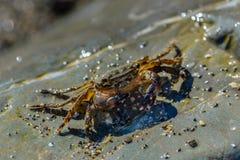 爬行在大石头的小螃蟹 免版税图库摄影