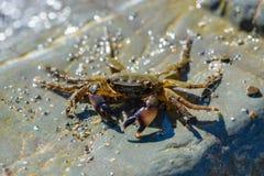 爬行在大石头的小螃蟹 免版税库存照片