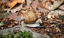 爬行在它的在森林特写镜头宏指令的老木头的伯根地蜗牛螺旋罗马蜗牛 库存照片