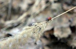 爬行在小尖峰的瓢虫 免版税库存图片