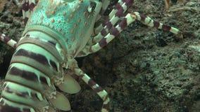 爬行在岩石的小龙虾 股票视频
