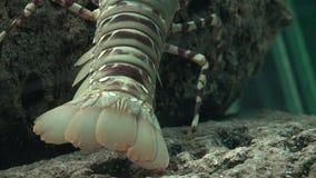 爬行在岩石的小龙虾 股票录像
