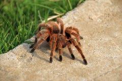 爬行在庭院,智利里的大棕色罗斯头发塔兰图拉毒蛛 免版税库存图片