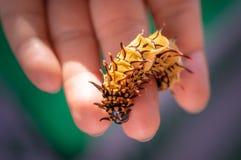 爬行在手上的美丽的黄色毛虫 免版税图库摄影