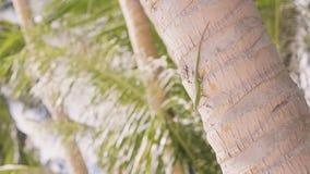 爬行在树干棕榈树的绿蜥蜴在热带海岛 在棕榈树的接近的蜥蜴在热带海滩 爬行动物 股票视频