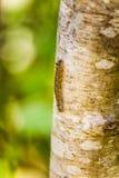 爬行在树干的一条小毛虫 库存照片