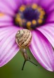 爬行在桃红色雏菊的地面蜗牛 免版税库存图片