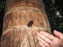 爬行在棕榈树的一只大黑甲虫 库存图片