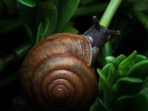 爬行在植物的蜗牛在庭院里 免版税库存照片