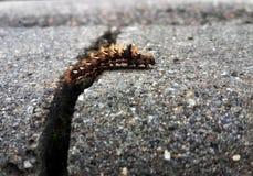 爬行在沥青的红色长毛的毛虫 库存图片