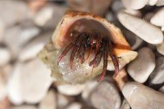 爬行在海滩的寄居蟹 免版税库存照片