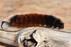 爬行在漂泊木头的灯蛾毛虫 免版税图库摄影