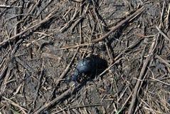 爬行在灰色土壤的黑meloe proscarabaeus臭虫有干燥枝杈背景 免版税库存图片