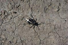 爬行在灰色土壤背景的黑Dorcadion equestre臭虫 库存照片