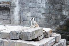 爬行在热带巴厘岛动物园公园,印度尼西亚的白色白鼬 库存照片