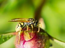 爬行在牡丹芽的黄蜂 免版税图库摄影