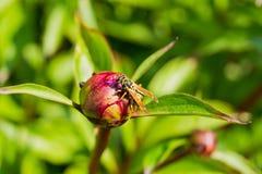 爬行在牡丹芽的黄蜂 库存图片