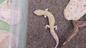 爬行在玻璃容器的沙子的一只小的蜥蜴壁虎 股票视频