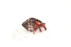 爬行在白色沙子的寄居蟹 免版税库存照片