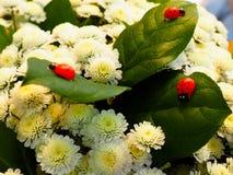 爬行在白色菊花叶子的瓢虫 免版税库存照片