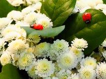 爬行在白色菊花叶子的瓢虫 免版税库存图片