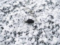 爬行在盐白色水晶的黑甲虫报道干盐湖的表面 库存照片