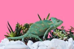 爬行在石头和多汁植物的逗人喜爱的异乎寻常的变色蜥蜴侧视图  免版税库存照片