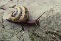 爬行在石头的蜗牛 免版税库存图片