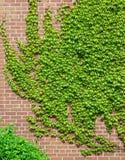 爬行在砖墙上的绿色常春藤藤 库存图片