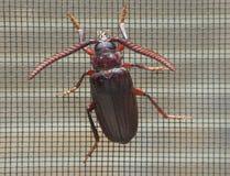 爬行在窗口屏幕上的大长的有角的甲虫 库存照片
