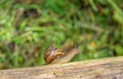 爬行在绿色植物背景的老委员会的蜗牛  复制空间 库存照片