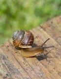 爬行在绿色植物背景的老委员会边缘的蜗牛  库存照片