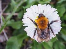 爬行在绿色背景的一朵雏菊的大土蜂 库存图片