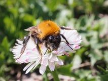 爬行在绿色背景的一朵雏菊的大土蜂 库存照片