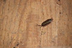爬行在老木墙壁上的共同的潮虫 库存图片
