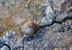 爬行在老破裂的混凝土的孤立蜗牛 免版税库存照片