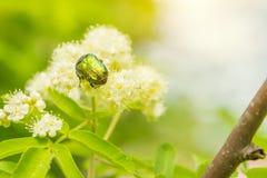 爬行在花的一只小甲虫 免版税库存图片