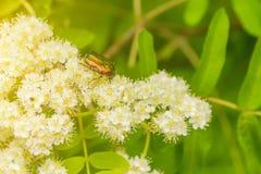 爬行在花的一只小甲虫 免版税库存照片