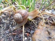 爬行在草的小的蜗牛 免版税库存图片