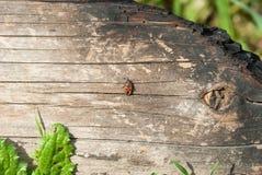 爬行在被烧焦的日志的战士甲虫 图库摄影