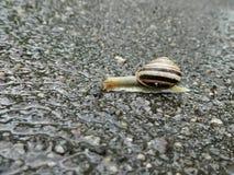 爬行在雨以后的蜗牛 免版税库存图片