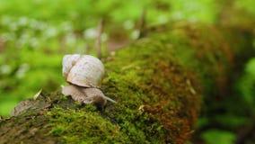 爬行在青苔的蜗牛在森林里 股票视频