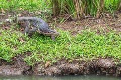 爬行在食物的沼泽狩猎附近的狂放的水监控器 库存照片