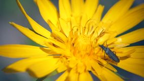 爬行在黄色花的昆虫