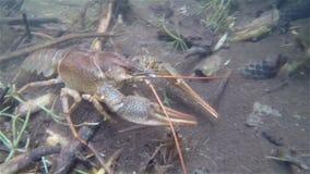 爬行在水下的小龙虾 股票视频
