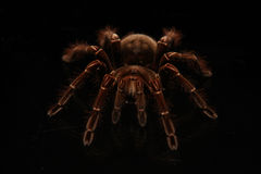 爬行在玻璃的塔兰图拉毒蛛蜘蛛 免版税图库摄影