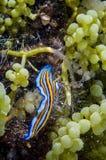 爬行在绿色葡萄海藻的扁虫在Derawan,加里曼丹,印度尼西亚水下的照片 库存照片