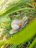 爬行在绿草的蜗牛在庭院里 库存照片
